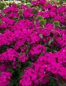 Dianthus-Amazon-Neon-Purple1