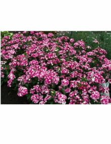 Dianthus-Amazon-Rose-Magic-Plant