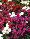 Dianthus-Dynasty-Mix