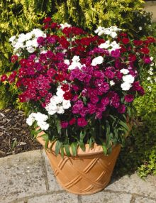 Dianthus-Dynasty-Mix1