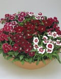Dianthus-Floral-Lace-Mix1