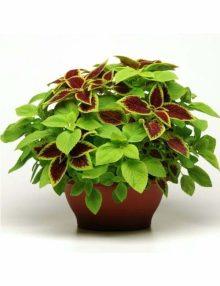 Fuseables-Coleus-Under-The-Sun