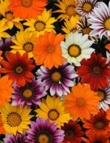 Gazania-New-Day-Mixture