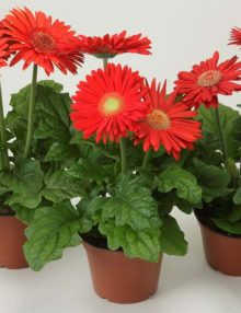 Gerbera-Mega-Revolution-Bright-Red-with-Light-Eye