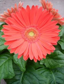 Gerbera-Mega-Revolution-Watermelon
