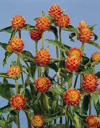 Gomphrena-Globosa-QIS-Orange