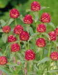 Gomphrena-QIS-Red-1