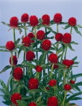 Gomphrena-QIS-Red