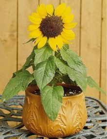 Helianthus-Ballad-Pot