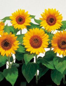 Helianthus-Big-Smile