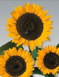 Helianthus-Cutting-Gold