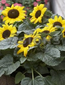 Helianthus-Miss-Sunshine1