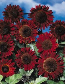 Helianthus-Prado-Red-Shades1