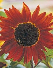 Helianthus-Red-Shades