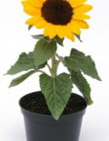 Helianthus-Sunflower-MS-SUNSHINE-Pot