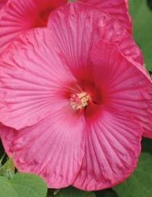 Hibiscus-Luna-Rose-Flower