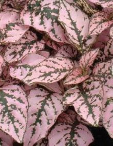 Hypoestes-Splash-Select-Pink