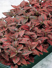 Hypoestes-Splash-Select-Red-Plant
