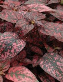 Hypoestes-Splash-Select-Red1