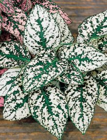 Hypoestes-Splash-Select-White-Plant