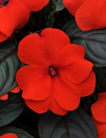 Impatiens-Divine-Orange-Bronze