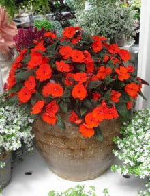 Impatiens-Divine-Orange-Bronze-Leaf
