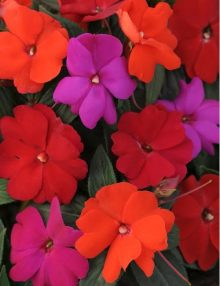 Impatiens Super Elfin XP Mix Hot