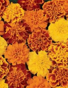 Marigold-Bonanza-Mixture-Improved