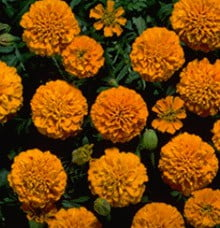 Marigold-Boy-Orange
