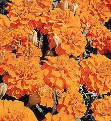 Marigold-Boy-Orange1
