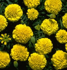 Marigold-Boy-Yellow1