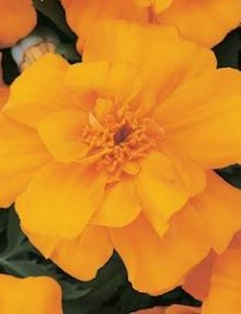 Marigold-Durango-Orange