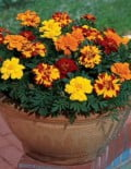 Marigold-Durango-Outback-Mix-Container-Image
