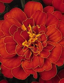 Marigold-Durango-Red-Flower
