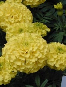Marigold-Lady-First-Flower