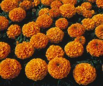 Marigold-Lady-Orange