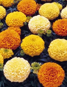 Marigold-Marvel-Mix