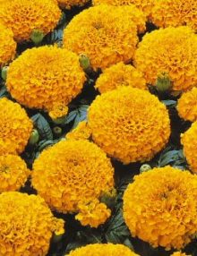 Marigold-Marvel-Orange