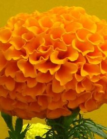 Marigold-Marvel-Orange-Flower