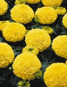 Marigold-Marvel-Yellow