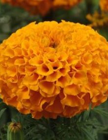 Marigold-Taishan-Orange