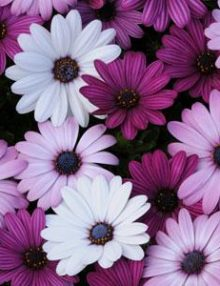 Osteospermum-Akila-Mixture