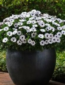 Osteospermum-Akila-White-Purple-Eye