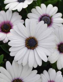 Osteospermum-Akila-White-Purple-Eye1