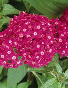 Pentas-Butterfly-Deep-Rose
