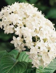 Pentas-Butterfly-White