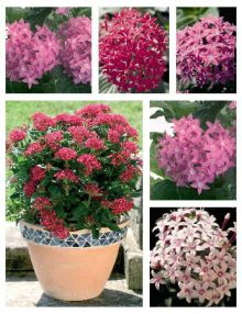 Pentas Kaleidoscope Mix (In Stock)