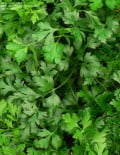 Petroselinum-Parsley-Italian-Giant-Plant