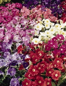 Petunia-Carpet-Mix