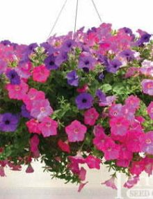 Petunia-Easy-Wave-Beachcomber-Mix